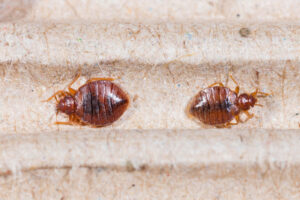 bed bugs Removal